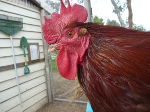 Rooster Photo.JPG